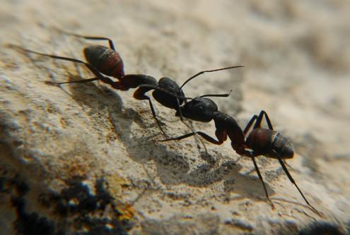 ants battling