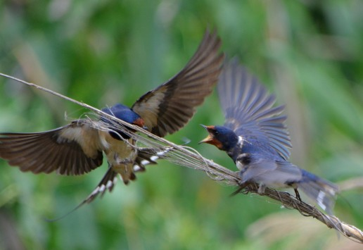barn swallows arguing over perch