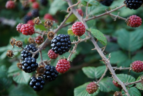 blackberries2