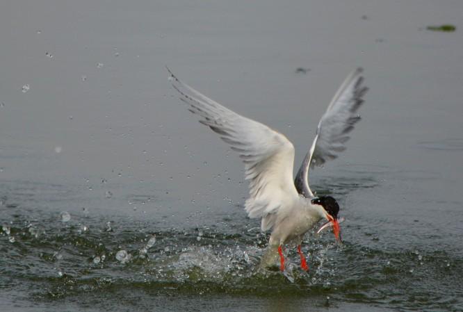 common tern catching fish