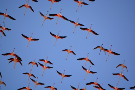 flamingoes overhead