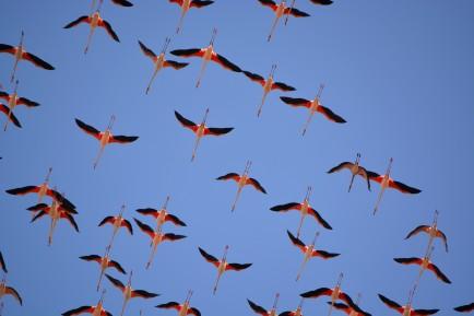 flamingoes overhead