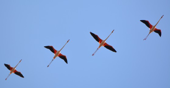 four flamingoes in flight