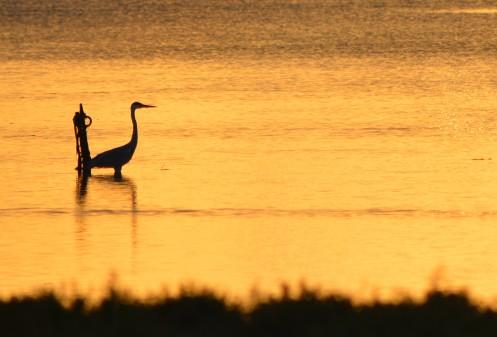 gray heron silhouette 2