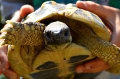 hermann's tortoise 2