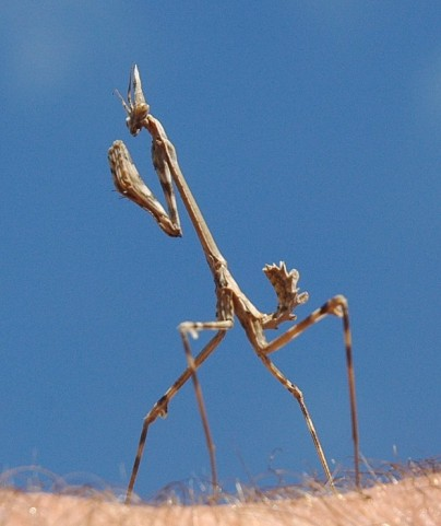 mantis against sky2