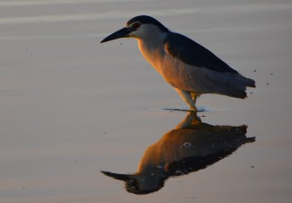 night heron at dawn with reflection