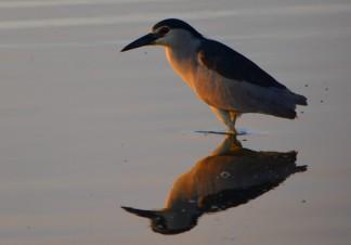 night heron at dawn with reflection