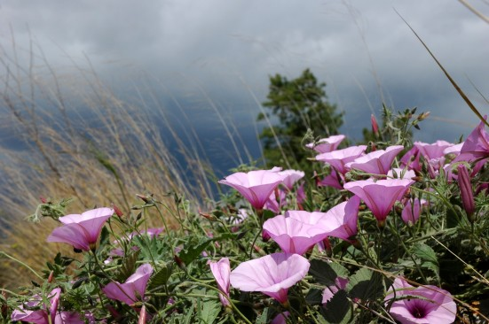 pink bindweed and dark clouds