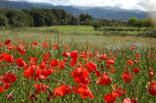 poppies on way to montgros