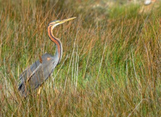 purple heron in grass2