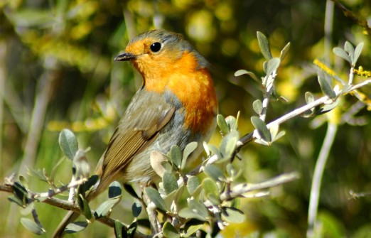 robin in bush2