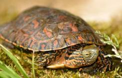 spanish pond turtle
