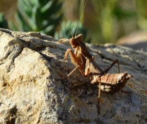 dwarf mantis