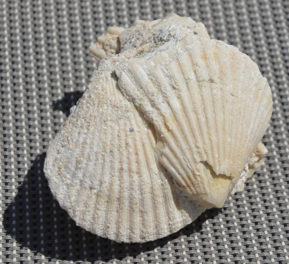 Foix fossil