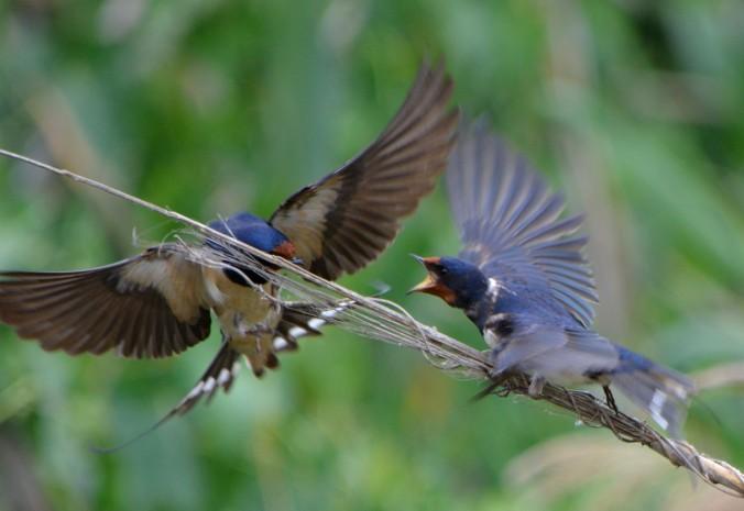 barn swallows arguing over perch