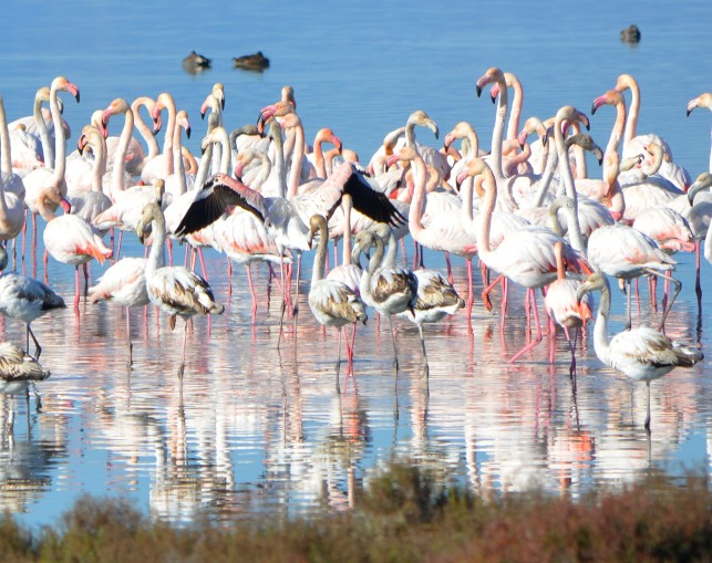 flamingoes with reflection
