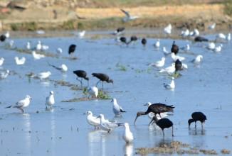 glossy ibis and gulls