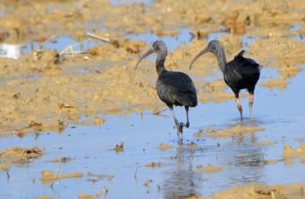 glossy ibis pair