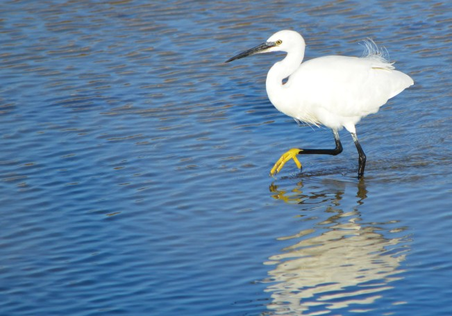 little egret with yellow foot out of water