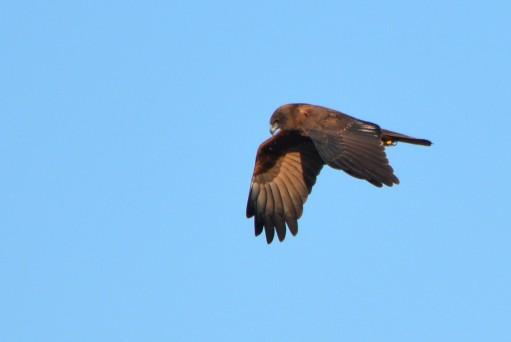 marsh harrier in flight 2