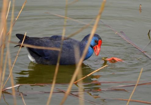 purple gallinule eating off foot 2