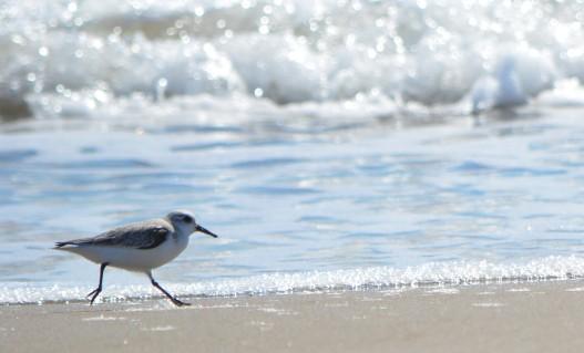 sanderling running