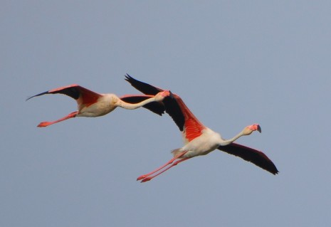 two flamingos in flight