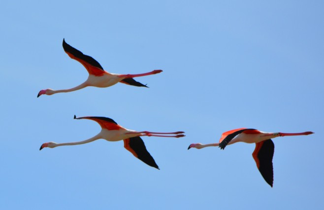 3 flamingos in flight