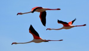 3 flamingos in flight2