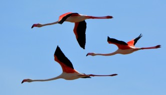 3 flamingos in flight2