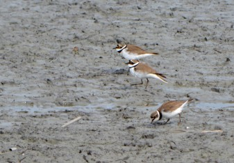 3 plovers