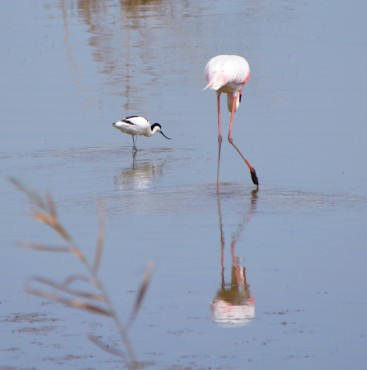 avocet wtih flamingo