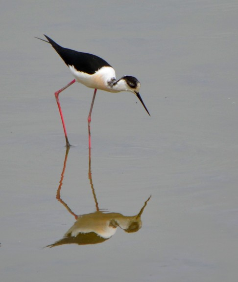 black winged stilt with reflection2
