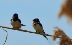 swallow on reed2