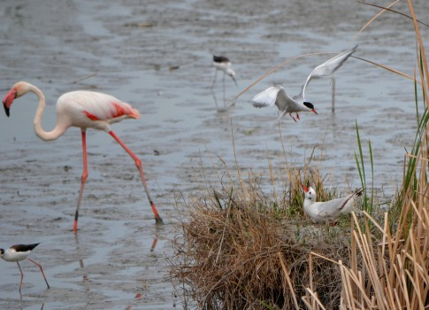 tern mobbing gull with flamingo