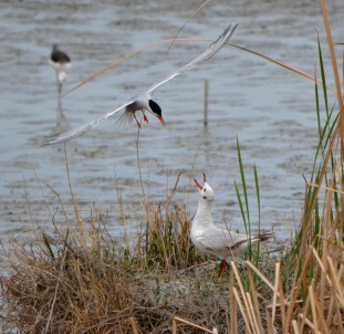 tern mobbing gull