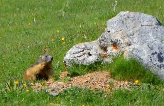 alpine marmot2
