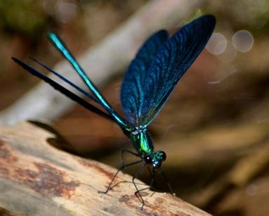 damselfly at gorge with open winigs