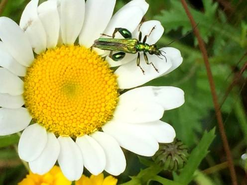 frog legged beetle 2