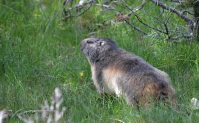 marmot in grass