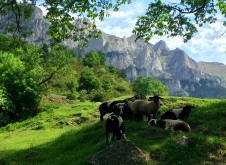 sheep in shade of oak